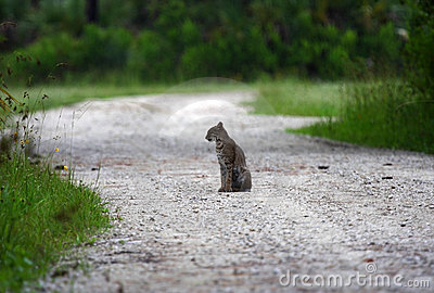 Bobcat in the Everglades