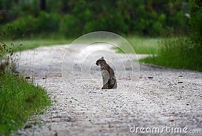 Bobcat in the Everglades