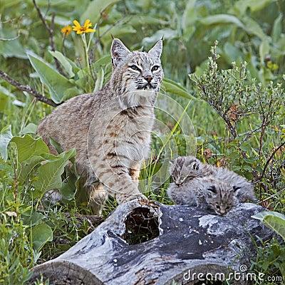 Bobcat female and baby kittens on log