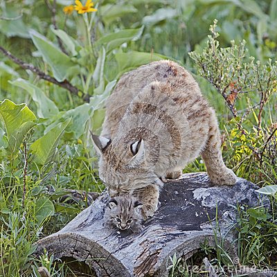 Bobcat female and kitten on log