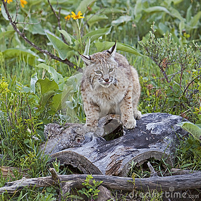 Bobcat female protecting baby kittens on log