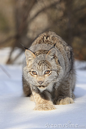 Bobcat fixated onto prey
