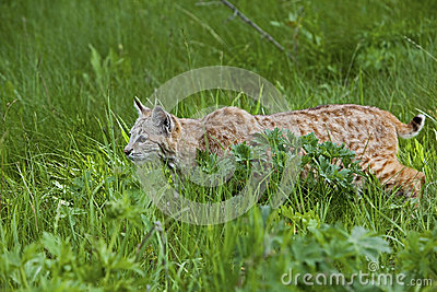 Bobcat in grassy meadow