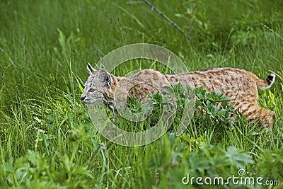 Bobcat in grassy meadow
