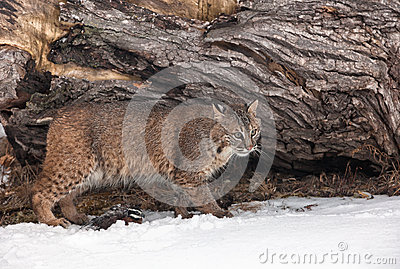 Bobcat with Bobwhite Quail