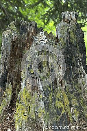 Bobcat hiding