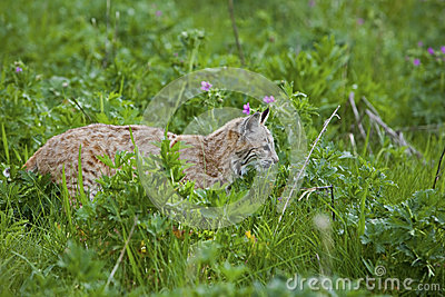Bobcat i gräs- äng
