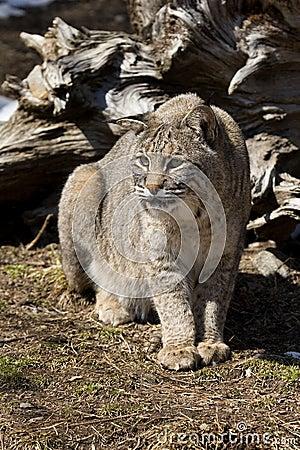 Bobcat IV