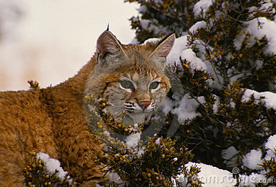 Bobcat in a Juniper