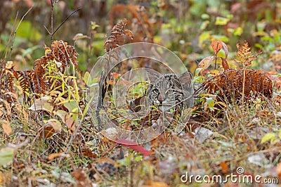 Bobcat Kitten Hides in the Grasses