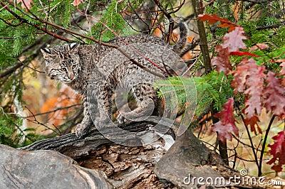Bobcat Kitten Looks Right from Atop Log