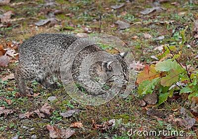 Bobcat Kitten (Lynx rufus) Cautiously Checks Leaves