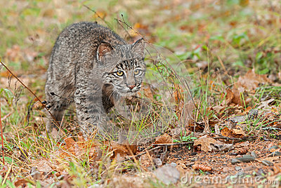 Bobcat Kitten (Lynx rufus) Intently Stalks Through Grass