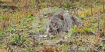 Bobcat Kitten (Lynx rufus) Lies in Grasses