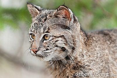 Bobcat Kitten (Lynx rufus) Looks Left
