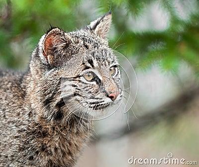 Bobcat Kitten (Lynx rufus) Looks Right Closeup