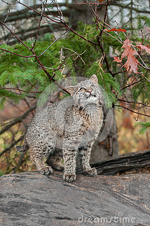 Free Bobcat Kitten (Lynx Rufus) Looks Up From Atop Log Royalty Free Stock Photography - 38817547