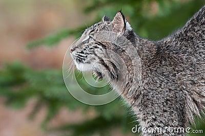 Bobcat Kitten (Lynx rufus) Looks Up and Left