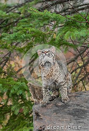 Bobcat Kitten (Lynx rufus) Looks Way Up From Atop Log