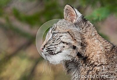 Bobcat Kitten (Lynx rufus) Profile