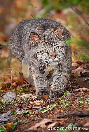Bobcat Kitten (Lynx rufus) Stalk