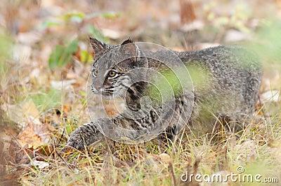 Bobcat Kitten (Lynx rufus) Stalks Through Grass