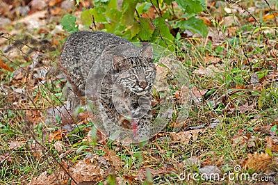 Bobcat Kitten (Lynx rufus) Stalks Through Grasses