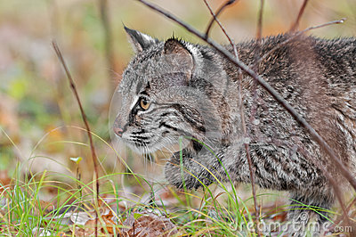 Bobcat Kitten (Lynx rufus) Stalks Left Through Grass