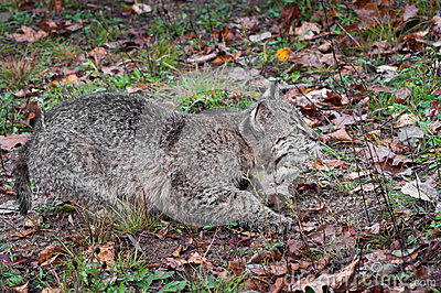 Bobcat Kitten (Lynx rufus) Stalks Right