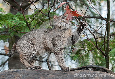 Bobcat Kitten Plays with Leaves Atop Log