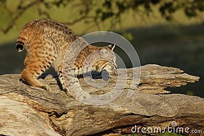 Bobcat on Log