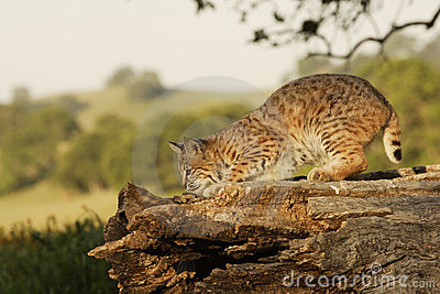 Bobcat on Log
