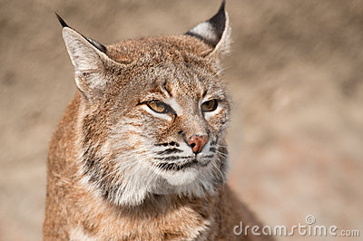 Bobcat - (lynx rufus)