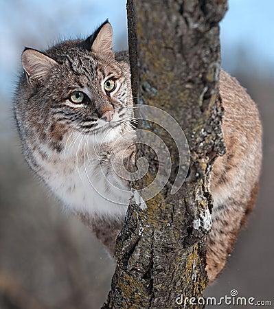 Bobcat (Lynx rufus) Behind Branch