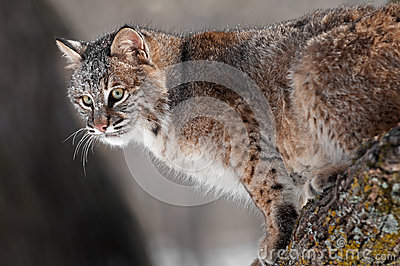 Bobcat (Lynx rufus) on Branch