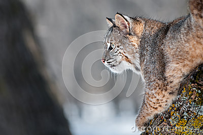 Bobcat (Lynx rufus) on Branch Looking Left