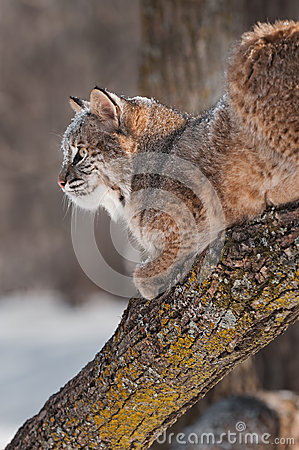 Bobcat (Lynx rufus) on Branch - Profile