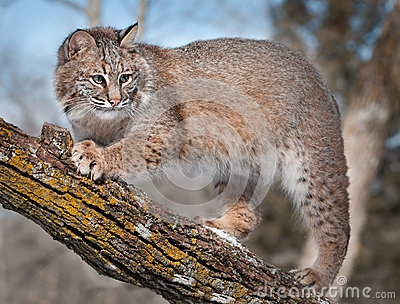 Bobcat (Lynx rufus) on Branch of Tree