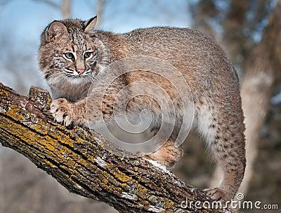 Bobcat (Lynx rufus) on Branch of Tree