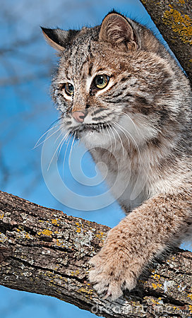 Bobcat (Lynx rufus) Claws at Branch