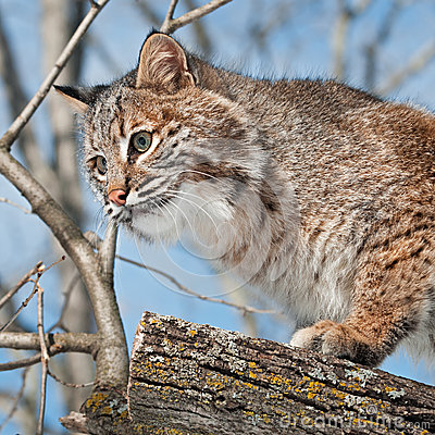 Bobcat (Lynx rufus) Close Up in Tree