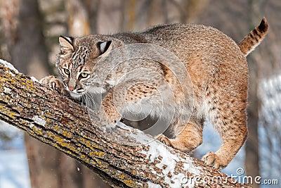 Bobcat (Lynx rufus) Crouches on Branch