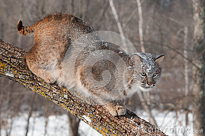 Bobcat (Lynx rufus) Crouches on Branch Looking Right