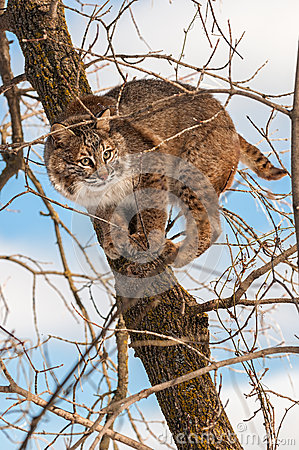 Bobcat (Lynx rufus) Crouches Camouflaged in Tree
