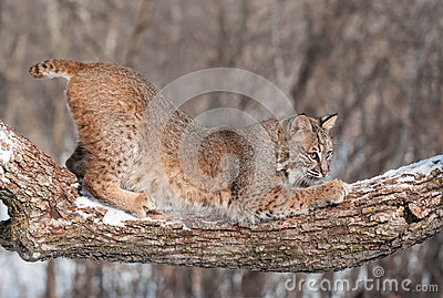 Bobcat (Lynx rufus) Crouches on Snowy Tree Branch
