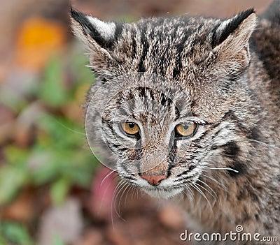 Bobcat (Lynx rufus) Head