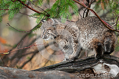 Bobcat (Lynx rufus) Looks Left Atop Log
