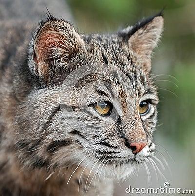 Bobcat (Lynx rufus) Looks Right Closeup