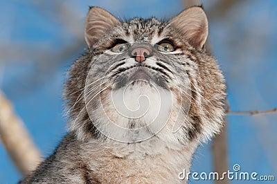 Bobcat (Lynx rufus) Looks Up