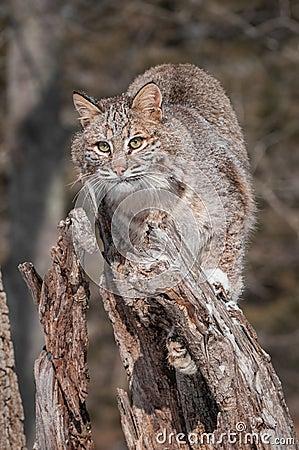 Bobcat (Lynx rufus) Perches on Stump